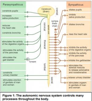 autonomic nervous system PNK e1604088238851 - Autoimmune Encephalitis Handouts and Fact Sheets